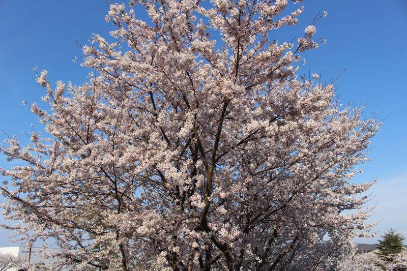 桜の写真・西野製作所